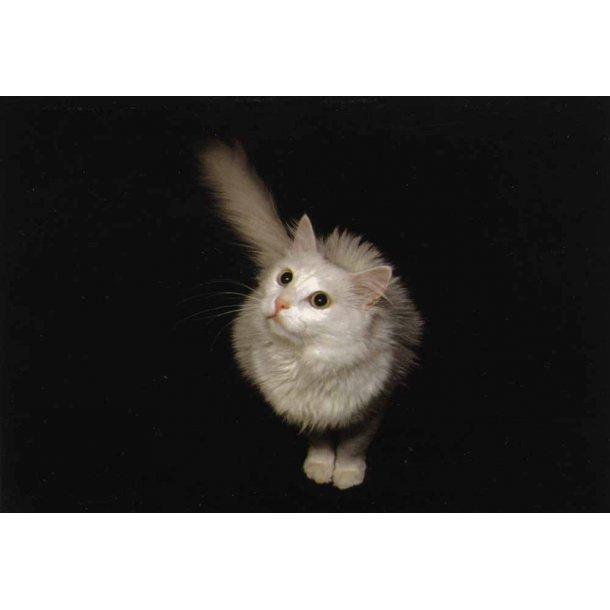 Forbavset hvid kat