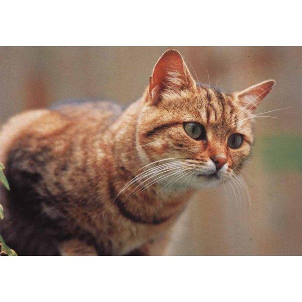 Overrasket rød kat