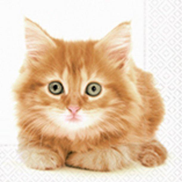 Cute golden Kitten